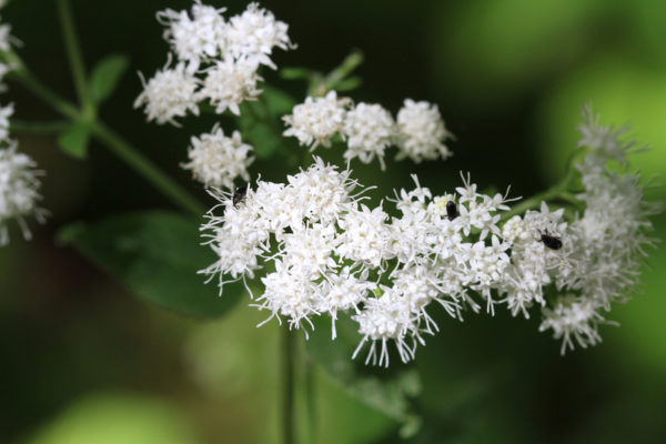 Snakeroot extract for Treating Toenail Fungus